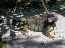Brown Iguana Stock Images