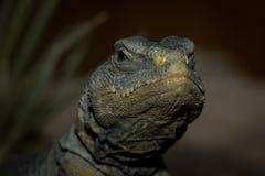 Brown iguana Royalty Free Stock Image