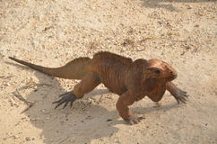 Brown iguana crawling across the sand in search of prey. Fauna Of The Caribbean Royalty Free Stock Photos