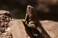 Brown Iguana Looking up on a Rock Royalty Free Stock Image