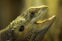 Brown iguana Stock Photos