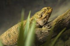 Brown iguana Stock Photo