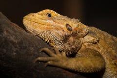 Brown iguana Royalty Free Stock Photo