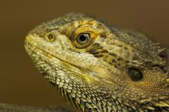 Brown iguana Stock Image