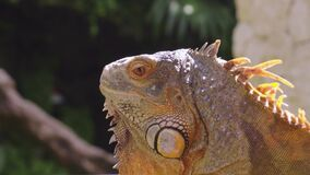 Brown iguanas bask in the daytime to warm their bodies
