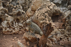 Brown iguanas sitting on the rocks. Fauna Of The Caribbean Royalty Free Stock Images
