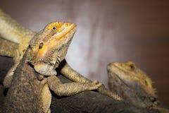 Brown iguanas Stock Images