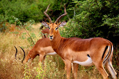 Brown impalas male with long horns in Kruger National park. Large antelope Royalty Free Stock Image