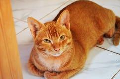 Brown-Inder-Katze lizenzfreie stockfotos