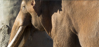 Brown Indian or Asian Elephant Royalty Free Stock Image