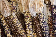 Brown Indian Corn Stock Images