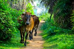 Brown indian cows came frome jungle way royalty free stock image