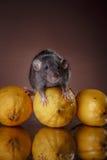 Brown-inländische Ratte stockfotografie