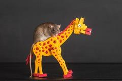 Brown-inländische Ratte Lizenzfreies Stockfoto