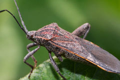 Brown insect Pentatomidae Royalty Free Stock Photos
