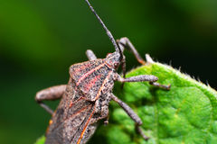 Brown insect Pentatomidae Royalty Free Stock Image