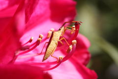 Brown insect. On a pink flower Royalty Free Stock Image