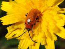 Brown insect on yellow flower Stock Photos