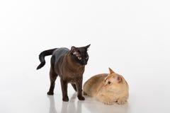 Brown intelligent et chats birmans noirs D'isolement sur le fond blanc Image libre de droits