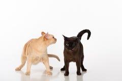 Brown intelligent et chats birmans noirs D'isolement sur le fond blanc Photographie stock libre de droits