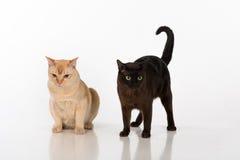 Brown intelligent et chats birmans noirs D'isolement sur le fond blanc Images libres de droits