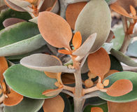 Brown interessante e folhas verdes da planta carnuda de cobre da colher Imagem de Stock Royalty Free
