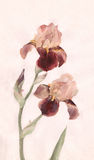 Brown irises watrcolor painting. The hand painted watercolor of brown irises Stock Photos