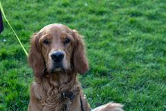 Brown Irish Setter with Long Ears. Cute Brown Irish setter Dog with long ears looking at the camera in a public park royalty free stock photos