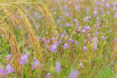 Brown irlandczyka ryż ziarna pole z małym kwiatem trawy świrzepy przedpole, Pospolita trzykrotka, Murdannia nudiflora, Commelinac fotografia stock