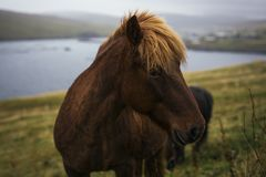 Brown Islandic Horse standing in mountains of Faroe Islands. With lake and city in background Royalty Free Stock Image