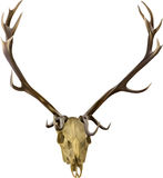 Brown isolated deer antlers illustration Stock Photography