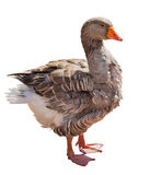 Brown isolated on white goose. Brown goose isolated on white background Royalty Free Stock Images