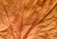 Brown ivy leaf close up background. Stock Photo
