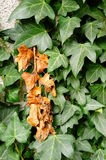 Brown ivy leaves Stock Images