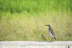 Brown Ixobrychus lub ptaka sinensis betonowej płyty podłoga za łąką zdjęcie royalty free