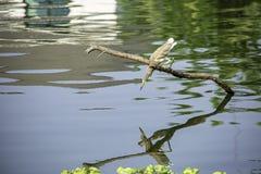 Brown Ixobrychus lub ptaka sinensis na gałąź jeść obraz royalty free