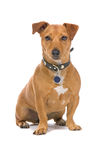 Brown Jack Russel Terrier dog Stock Images