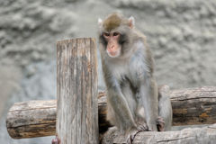 Brown Japanese macaque (snow monkey) Stock Images