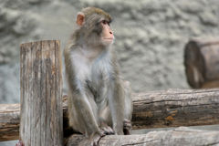 Brown Japanese macaque (snow monkey) Royalty Free Stock Photography