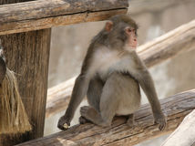 Brown Japanese macaque (snow monkey) Royalty Free Stock Photos