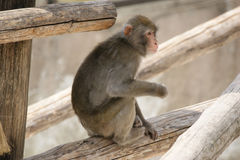 Brown Japanese macaque (snow monkey) Stock Photography