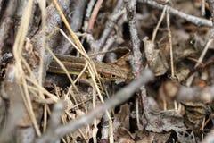 Brown jaszczurka Obraz Royalty Free