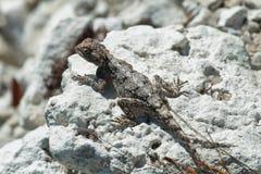 brown jaszczurka Zdjęcia Stock