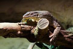 brown jaszczurka Zdjęcia Royalty Free
