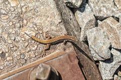 Brown jaszczurka blisko torów szynowych Fotografia Stock