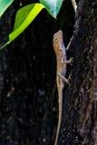 Brown jaszczurka dalej na drzewie Zdjęcia Stock