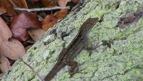 Brown jaszczurka liśćmi zdjęcia royalty free