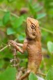 Brown jaszczurka w naturze Fotografia Stock