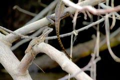 Brown jaszczurki Zdjęcia Stock