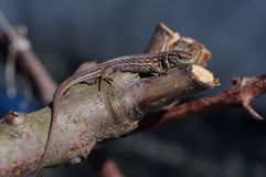 Brown jaszczurki Lacerta agilis Fotografia Stock